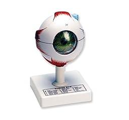 Neo Sci Human Eye Model, 7\