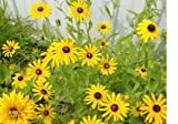 26,000 Black Eyed Susan Flower Seeds