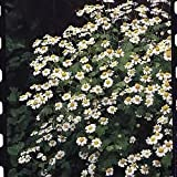 South Eastern Horticultural Pack Feverfew Seed Suffolk Herbs Garden Herb Seeds