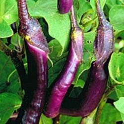 Buy Japanese Pickling Eggplant 50 Seeds – Sweet/Mild – FREE SHIPPING ON ADDITIONAL HIRTS SEEDS