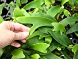 5 Baby Staghorn Fern Plants