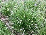 Lampenputzergras 'Hameln' - Pennisetum alopecuroides 'Hameln' - Ziergras von Native