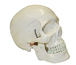 Walter Products B10207A Classic Human Skull Model, Life Size