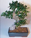 Chinese Elm Bonsai Tree - Extra Large Curved Trunk Style