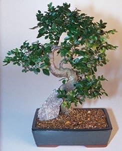 Bonsai Boy's Chinese Elm Bonsai Tree-Extra Large Ulmus Parvifolia