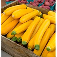 Zucchini Golden Glory D3837A (Yellow) 25 Seeds by David's Garden Seeds