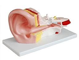 Doc.Royal Human Professional Middle Ear Joint Simulation Model Medical Anatomy