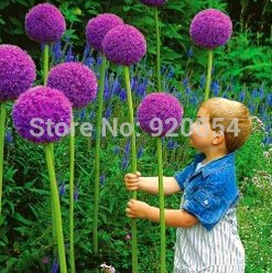 sale-rare-flower50pcs-bag-giant-onion-allium-giganteum-seed-beautiful-flower-bonsai-plant-home-garde