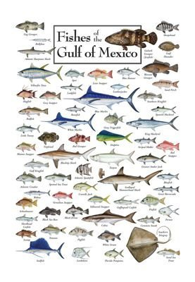 Fishes of the Gulf of Mexico Regional Fish Poster by Steven M. Lewers & Associates (Fishes Of The Gulf Of Mexico compare prices)