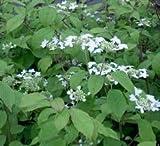 Summer Snowflake Viburnum Plicatum Plants ( Quart Pots ) Well Branched