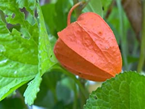 100 CHINESE LANTERN (Winter or Ground Cherry / Japanese Lantern) Physalis Alkekengi Flower Seeds