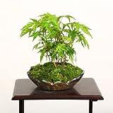 小品盆栽:てのひら山もみじ寄せ(還元木の葉焼小鉢)*