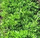 Herb Seeds - Coriander Confetti - 1200 Seeds