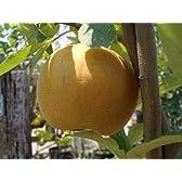 梨(なし) 幸水  2年生 接ぎ木 ロングスリット鉢苗果樹苗木 果樹苗 ナシ