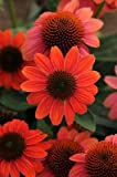 Echinacea 'Sombrero Hot Coral' plant in 13cm pot. Coneflower