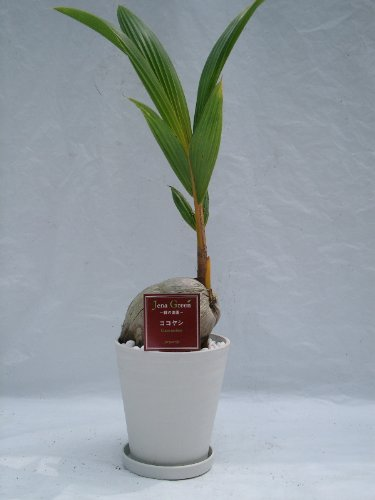 ココヤシ 2鉢セット (ブラック・ホワイト7号(7寸鉢)2色セット)大きなヤシの実から伸びる姿が可愛らしい、人気の観葉植物