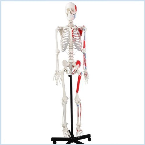 Wellden Medical Life-size Anatomical Human Skeleton Model, Muscular Painted, Numbered, 170cm, w/Nerves, Stand Included (Muscular System Model compare prices)