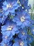 【PLANT】Delphinium Blue Lagoon デルフィニウム・ブルー・ラグーン・苗