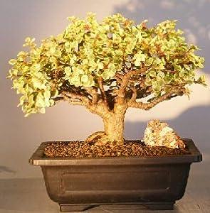Bonsai Boy's Baby Jade Bonsai Tree - Variegated portulacaria afra variegata
