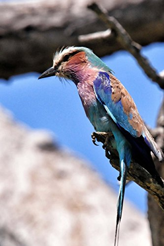 Lilac Breasted Roller Perched in a Tree, Birds of the World: Blank 150 Page Lined Journal for Your Thoughts, Ideas, and Inspiration