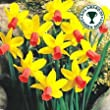 """ Jetfire "" Rockery Narcissi / Daffodil Bulbs : Similar to Tete a Tete : Spring Flowering - FREE UK P & P"