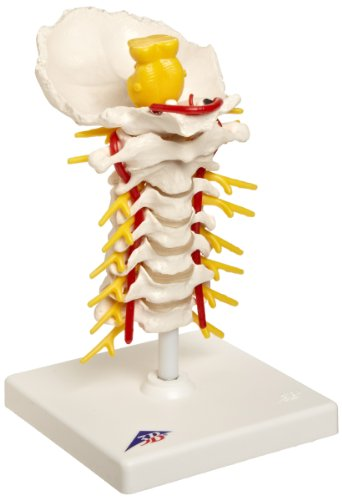 3B Scientific A72 Cervical Spinal Column Model with Stand, 7.5