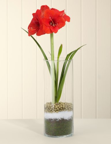 Amaryllis glass m s for Vase amaryllis