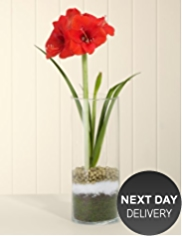 Amaryllis Glass Vase