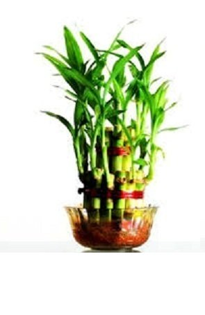 Green plant indoor 2 Layer Lucky Bamboo Plants Price in India   Buy ...