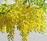 Indian Gardening Golden Shower Tree Gold Rush Yellow Cassia Fistula Flower Seeds 5 Seeds
