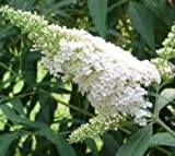 White Profusion Butterfly Bush (Buddleia) - Live Plant - Trade Gallon Pot