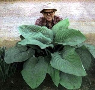 Buy T-Rex Hosta – Largest Leaved Hosta in the world!
