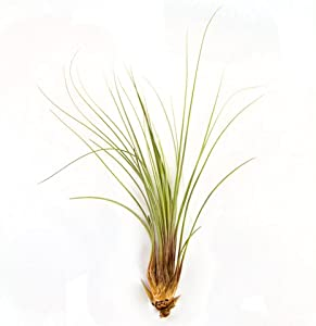 Set of 3 Tillandsia Juncea Air Plants - 30 Day Air Plant Guarantee - Fast Shipping - Tillandsia air plants