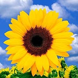 100 Fresh Cut Yellow Sunflowers | Fresh Flowers Express Delivery | Perfect for Birthdays, Anniversary or any occasion.