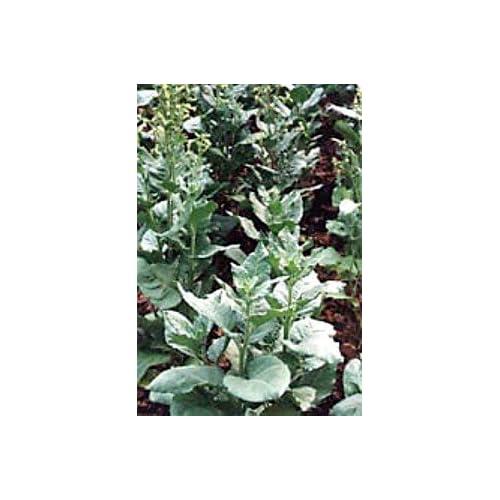 Amazon.com : Santo Domingo Ceremonial Tobacco 50 Seeds - Nicotiana