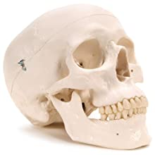 "3B Scientific Plastic Human Skull Model, 3 Parts, 7.9"" x 5.3"" x 6.1"""