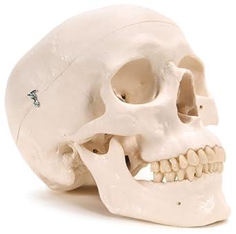 """3B Scientific Plastic Human Skull Model, 3 Parts, 7.9"""" x 5.3"""" x 6.1"""""""