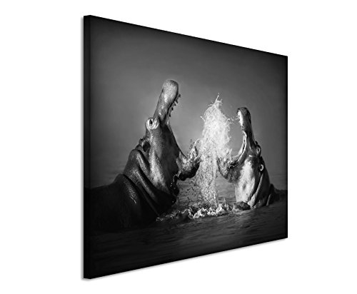 50x70cm Leinwandbild schwarz weiß in Topqualität Nilpferde Kampf im Wasser