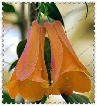 nueva-rare-300-pc-bolsa-chilena-bellflower-lapageria-rosea-semillas-arbol-de-hoja-perenne-dura-sombr