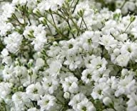 Fresh Cut Million Stars Gypsophilia