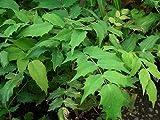 ヒイラギナンテン5号ポット苗木 庭木 常緑樹 グランドカバー 低木