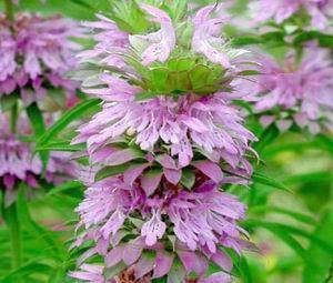 Lemon Mint (Monarda citriodora) 500+ Seeds The plants are attractive to butterflies and hummingbirds.