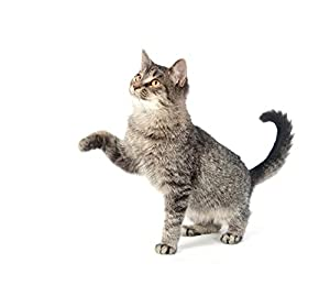 Tabby Cat Playing on White Background Wall Decal - 52 Inches W x 45 Inches H - Peel and Stick Removable Graphic