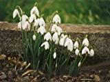 Sycamore Trading Single SNOWDROP BULBS x 50