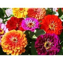 David's Garden Seeds Flower Zinnia California Giants Heat Tolerant DGS0987 (Multi Colors) 500 Heirloom Seeds