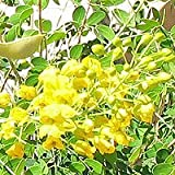Mexican Bird of Paradise Seeds - Caesalpinia mexicana