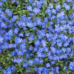Creeping Speedwell - 1000 Seeds