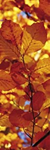 Posters: Trees Poster Art Print - Golden Autumn Leaves (62 x 21 inches)