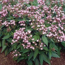 Buy Pentas Northern Lights Lavender – Park Seed Pentas