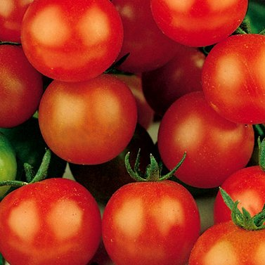 Sugar Sweetie Cherry Tomato - 30 Seeds - Organic (Tomato Patio compare prices)